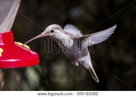 Rare White Leucistic Magnificent Hummingbird (eugenes Spectabilis) San Gerardo De Dota, Birds Of Cos