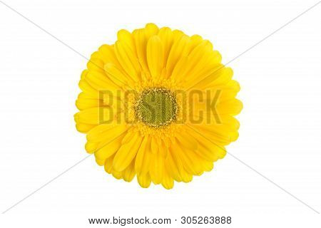 Perfect Yellow Gerbera Flower Head Isolated On White Background.