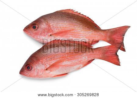 Two fresh raw Northern red snappers isolated on white background