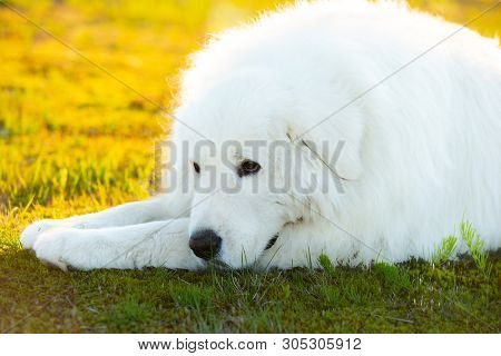Portrait Of Beautiful Maremma Dog. Big White Fluffy Dog Lying On Moss In The Field On A Sunny Day. P