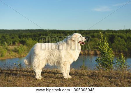 Profile Portrait Of Beautiful Happy Maremma Sheepdog. Big White Fluffy Dog Breed Maremmano Abruzzese