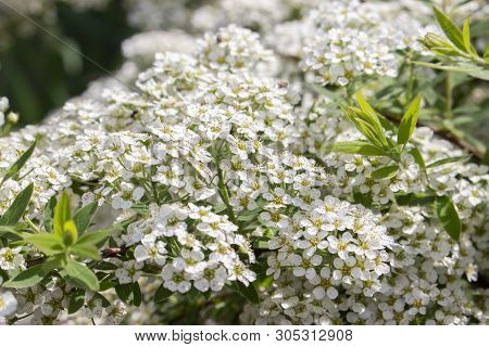 Spiraea cinerea ashy small white flowers, close-up texture floral background. Blooming ornamental shrub Rosaceae, Bundles of white flowers with yellow stamens, selective focus poster