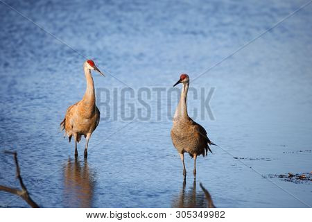 Two Sandhill cranes in the lake