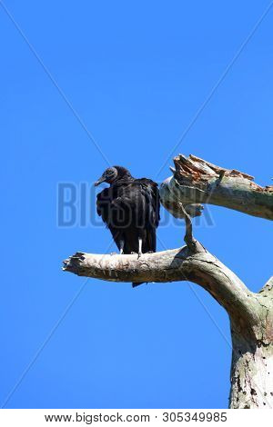 Black Vulture on the tree branch