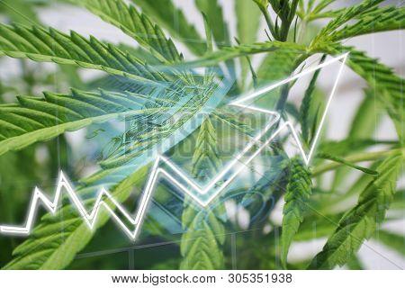Cannabis Sativa Stocks Exploding High Quality Stock Photo