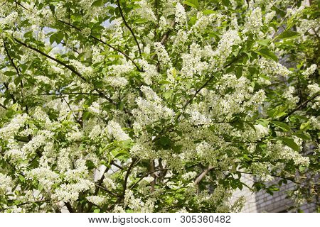 Prunus Padus Species Of Small Trees Of The Genus Prunus In The Family Rosaceae. Prunus Padus Branch