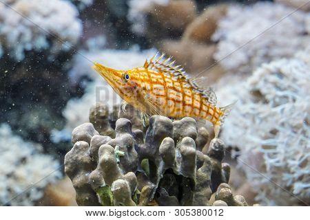 Longnose Hawkfish - Oxycirrhites Typus. Animal Scene.