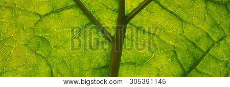 Capillaries Of Green Rhubarb Foliage, Autumn Season. Web Banner For Your Design.