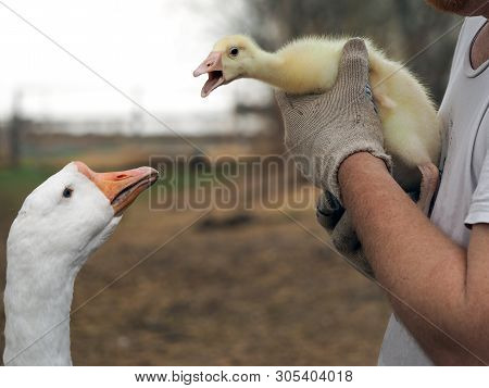 Farmer's Hands Holding A Small Goose. The Chick Is Introduced To An Adult Bird