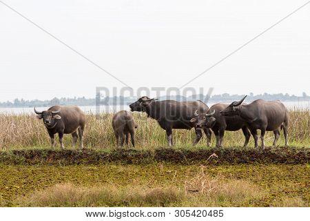 The Water Buffalo Or Domestic Asian Water Buffalo. Refreshment Of Water Buffalos. Female And Calf Of