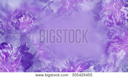 Floral Purple  Background.  Flowers Fnd Petals Purple Piones  Close-up.  Greeting Card.  Place For T