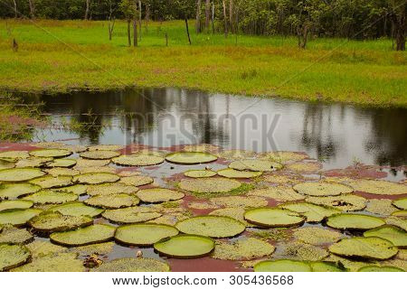 Victoria Regia, The Worlds Largest Leaves, Of Amazonian Water Lilies. Amazonas, Brazil