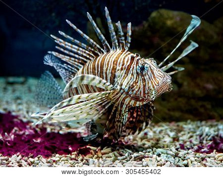 Common Lionfish Or Devil Firefish (pterois Miles) Close-up Floating In Aquarium