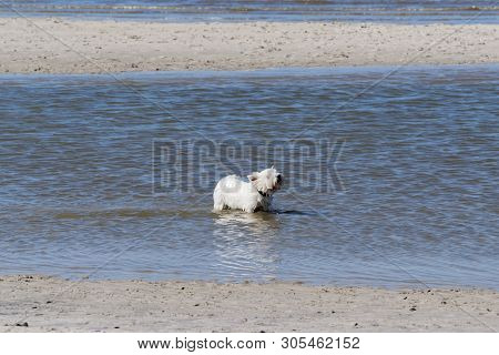 A Small Terrier Dog Is Playing In A Sea Water. Sankt Peter-ording Beach In North Germany