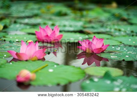 Royalty High Quality Free Photo Image Of A Pink Lotus Flower. Pink Lotus Is On Middle Pond Of Lotus