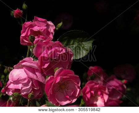 Bunch Of Beautiful Bright Pink Roses On Black Background In Nature. Colse Up Photo