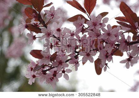 Flower Cherry Tree Cerasus Rosaceae On Tree Background