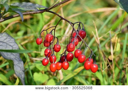Close-up Of The Red Berries Of The Nightshade Of Solanum Dulcamara On The Lawn In The Foothills Of T