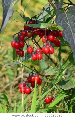 Branch Of Red Solanum Solanum Dulcamara With Berries And Green Leaves On The Lawn In The Foothills O