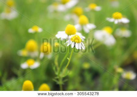 White Daisies. Yellow And White Flowers On A Green Background. Closeup Plants