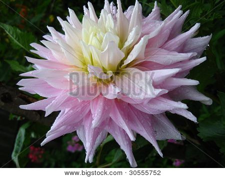 beautiful flower of Dahlia