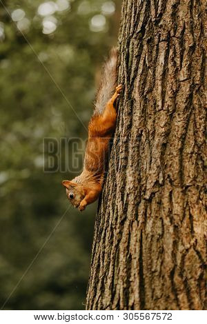 Red Squirrel Clings To A Large Tree Trunk Upside Down And Eats A Nut. Public Park, Ecology Conservat