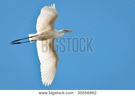Great Egret Flying Across Blue Sky