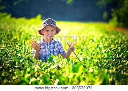 Boy Is Studying Soy Sprout. Child Is Holding A Soybean Pod. Sunlit Green Soybean Bushes Growing On T