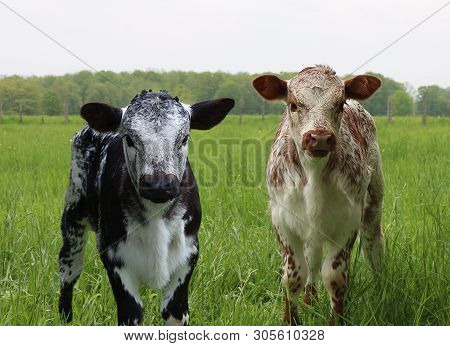 Young Rust And Black And White Speckled Roan Calves Standing In The Meadow