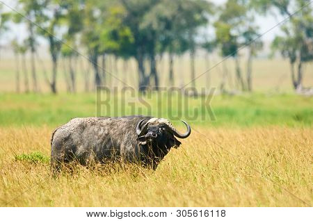Huge African Buffalo (syncerus Caffer) Grazes Free In The African Savannah.