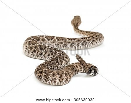 Crotalus atrox, western diamondback rattlesnake or Texas diamond-back, venomous snake against white background poster