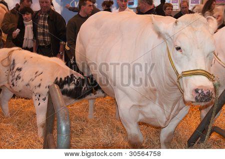 Paris - February 26: Blanc Bleu Belge Cow And Calf At The Paris International Agricultural Show 2012