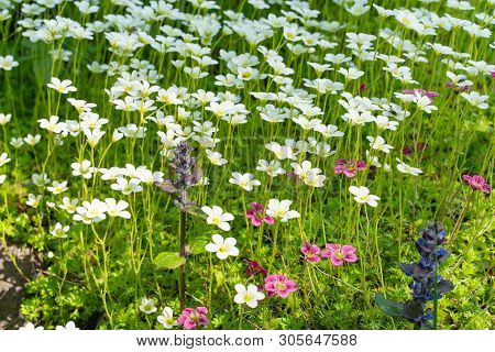 Lobularia Flowers In The Flower Bed. Decorative Plants Of The Botanical Garden.