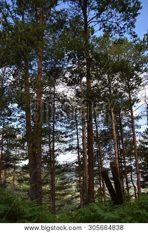 Forest Of High Eucalyptus The Mountains Of Galicia Full Of Valleys Pine Forests Meadows And Forests