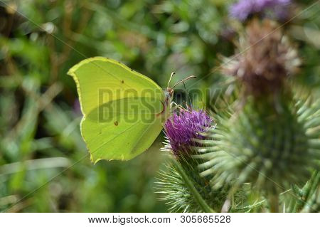 Portrait Of Green Butterfly On A Purple Flower In The Mountains Of Galicia. Fence Of Valleys. Pine F