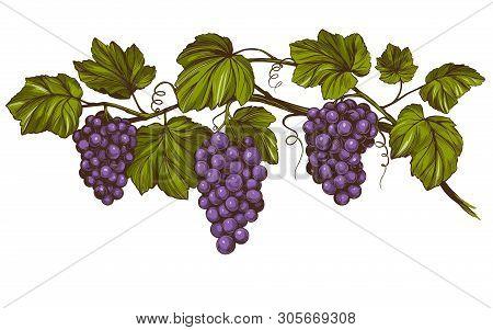 Grape Vine, Grape, Color Hand Drawn Vector Illustration Realistic Sketch