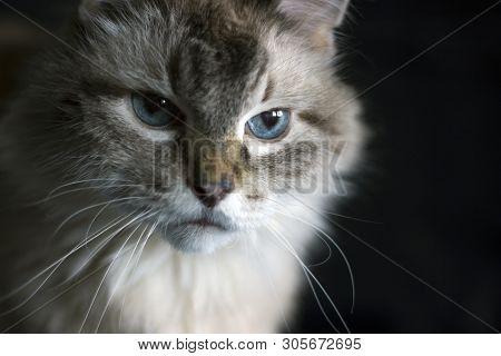 Amazing Blue-eyed Cat Staring Intently On Black Background Isolated