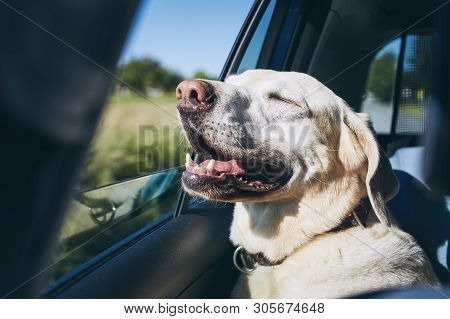 Dog Enjoying From Traveling By Car. Labrador Retriever Looking Through Window On Road.
