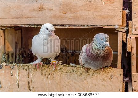 One White And One Colorful Gray Pigeon Standing On On The Edge Of Wooden Nest.