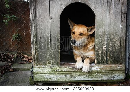 Sad view of an alone brown dog lying in the kennel - an old wooden house poster