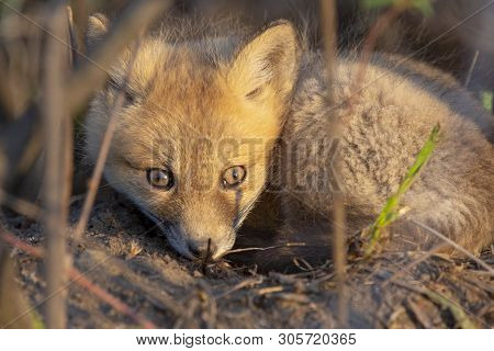 Fox Kits Near Den In Prairie Saskatchewan Canada