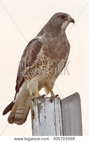 Swainsons Hawk Prairie