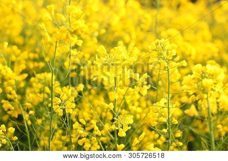 Scenic Rural Landscape With Yellow Rape, Rapeseed Or Canola Field. Rapeseed Field, Blooming Canola F