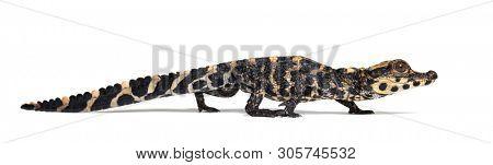 Dwarf crocodile, Osteolaemus tetraspis also know as African dwarf crocodile, broad-snouted crocodile, or bony crocodile against white background