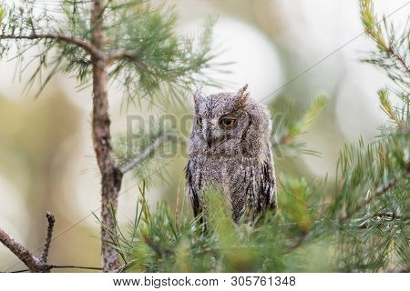 Small Scops Owl On A Pine Branch. Little Scops Owl (otus Scops) Is A Small Species Of Owl From The O