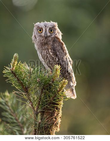 Small Scops Owl On Branch On Green Background. Little Scops Owl (otus Scops) Is A Small Species Of O