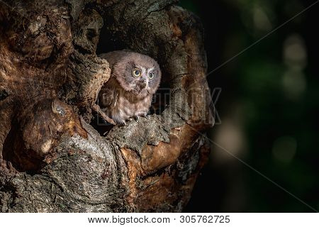 Tengmalm's Owl Aegolius Funereus, Is A Small Owl. It Is Known As The Boreal Owl. Cub Boreal Owl In T