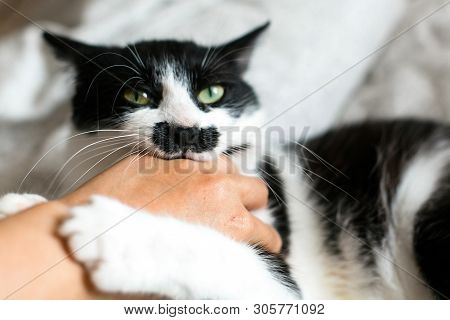 Funny Black And White Kitty With Angry Emotions Bites Girl Hand And Scratches On Stylish Sheets. Cut
