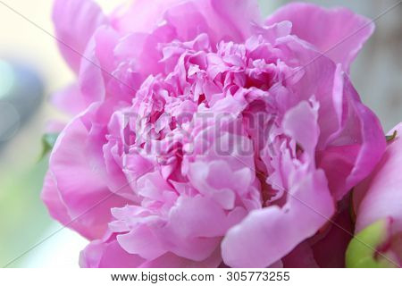 Pink Peonies.big Charming Fresh Flower Pion On A Dark Gray Stone Table.copy Space.