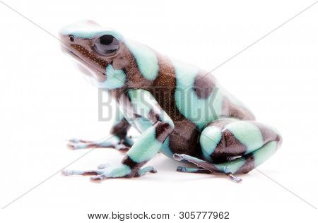 Poison dart frog, Dendrobates auratus Pena Blanca. Poisonous rain forest animal from Panama. Isolated on white background. poster